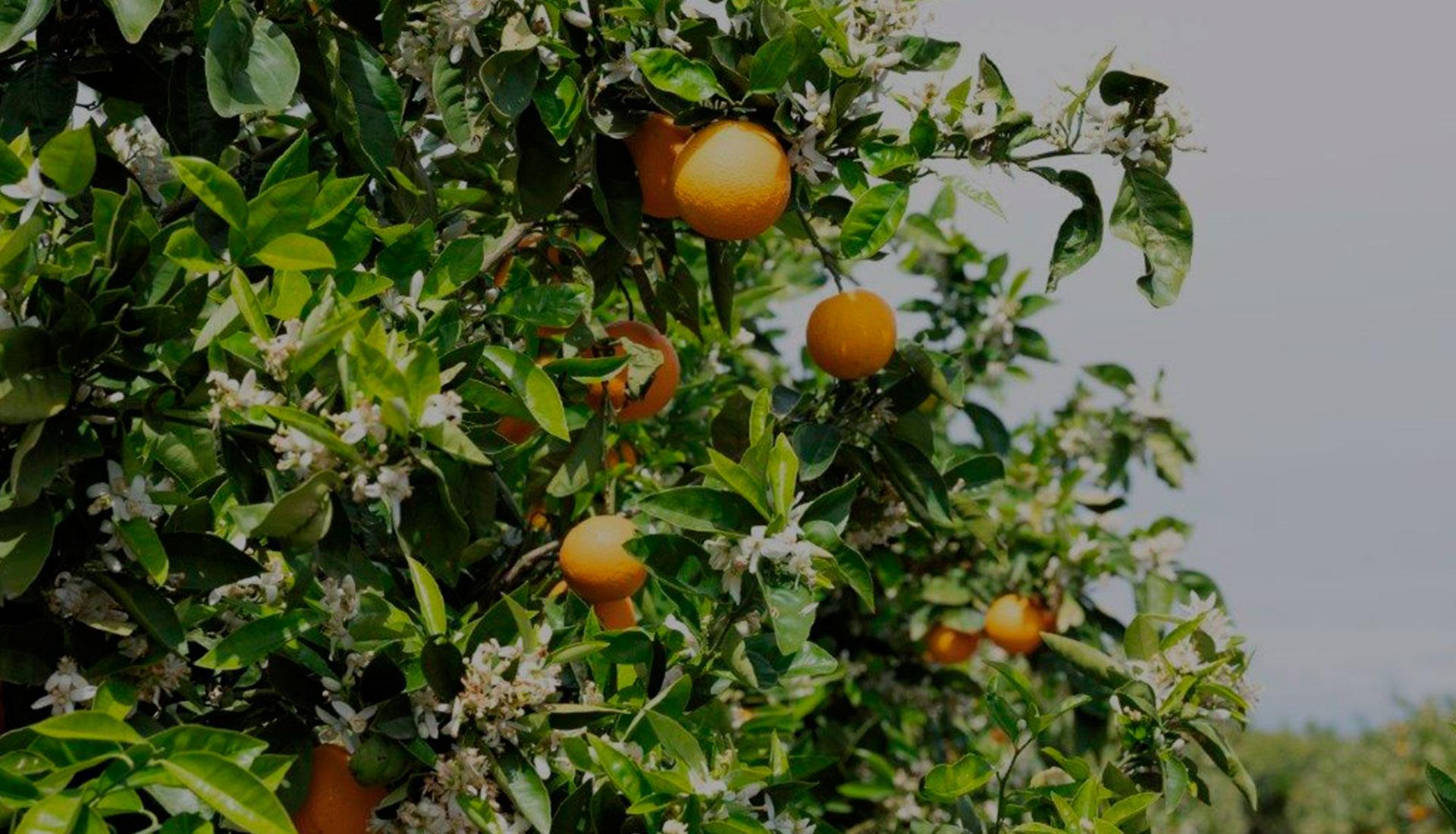 naranjas ecologicas bioproductsspain