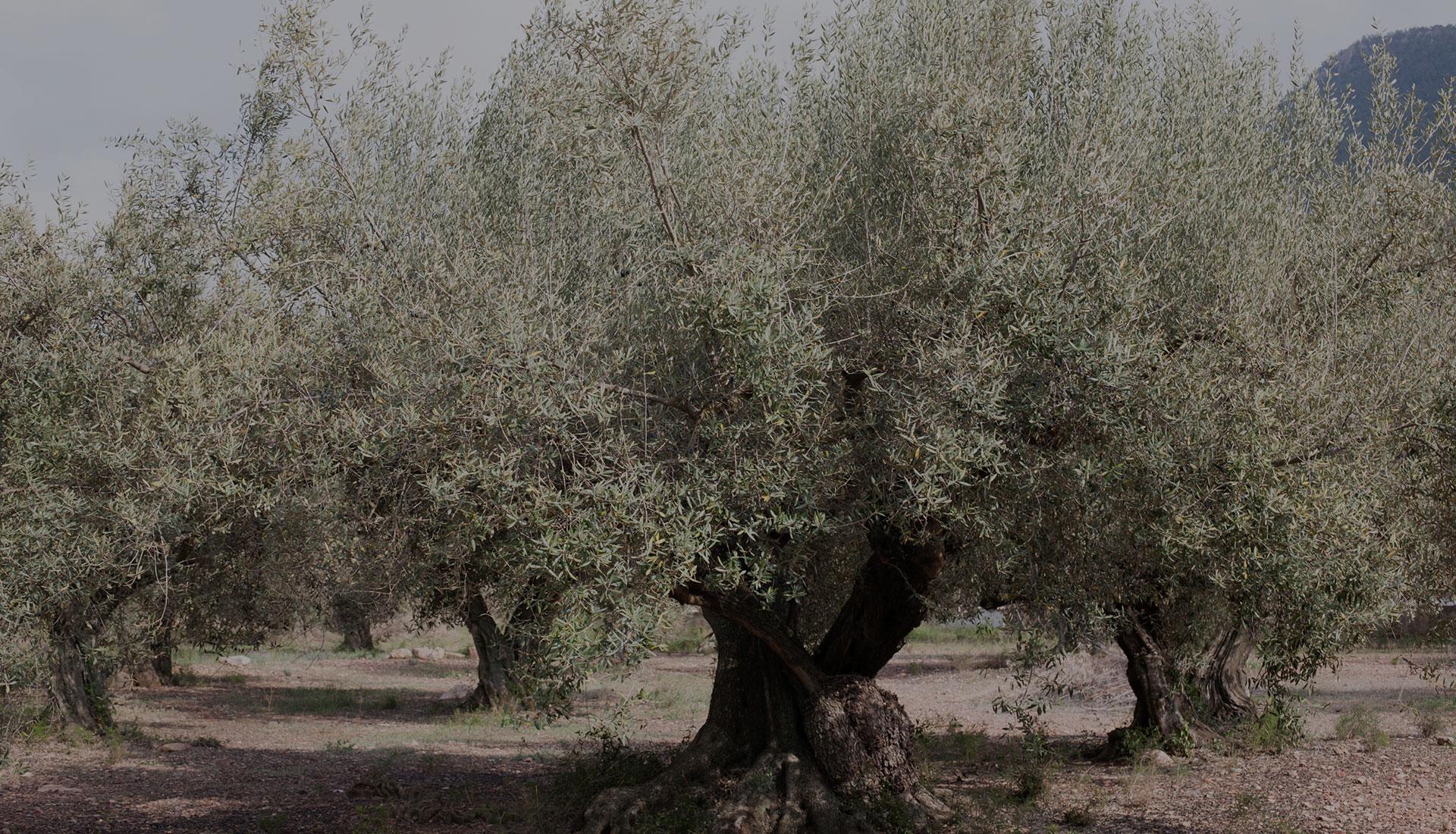 produccion olivas ecologicas